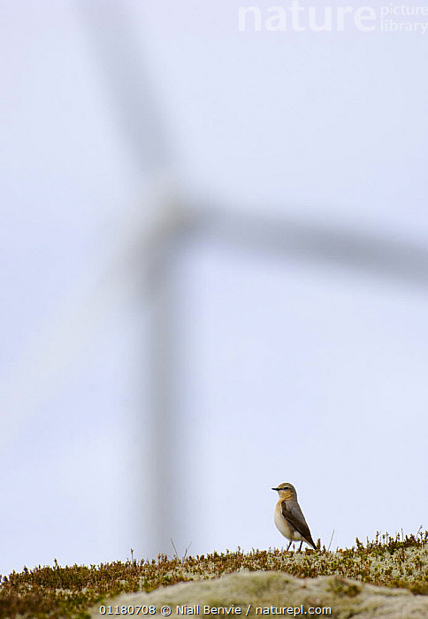 Female wheatear {Oenanthe oenanthe} with wind turbine in distance, May, Sm�la, M�re og Romsdal, Norway, ARTY,BIRDS,ENERGY,ENVIRONMENTAL,EUROPE,NORWAY,RENEWABLE,SCANDINAVIA,SPRING,STANDING,VERTEBRATES,VERTICAL,WHEATEARS,WIND,Weather,Chats, Niall Benvie
