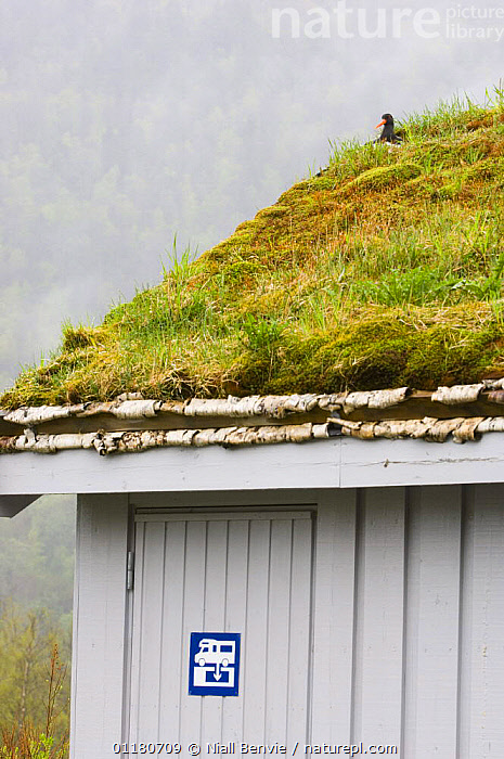Oystercatcher {Haematopus ostralegus} nesting on the turf roof of an out-house, May, Norway, BIRDS,BUILDINGS,ENVIRONMENTAL,EUROPE,GRASS,NESTS,NORWAY,OYSTERCATCHERS,SCANDINAVIA,SPRING,URBAN,VERTEBRATES,VERTICAL,WADERS,Plants, Niall Benvie