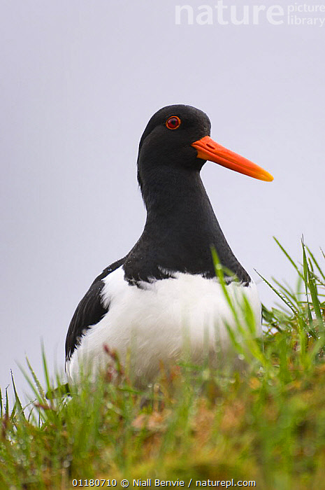 Oystercatcher {Haematopus ostralegus} on the turf roof of an out-house, May, Norway, BIRDS,EUROPE,NORWAY,OYSTERCATCHERS,SCANDINAVIA,SPRING,URBAN,VERTEBRATES,VERTICAL,WADERS, Niall Benvie