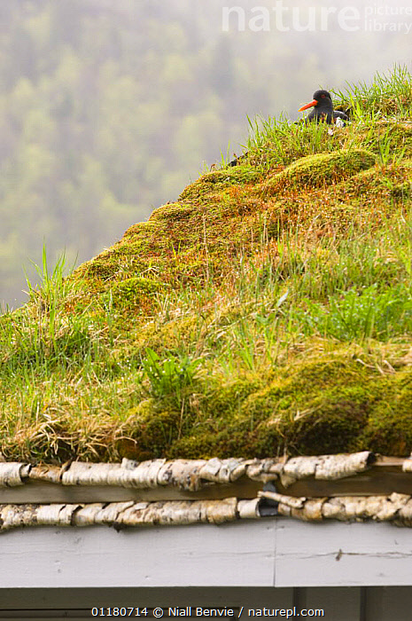 Oystercatcher {Haematopus ostralegus} nesting on the turf roof of an out-house, May, Norway, BIRDS,BUILDINGS,EUROPE,NESTS,NORWAY,OYSTERCATCHERS,SCANDINAVIA,SPRING,URBAN,VERTEBRATES,VERTICAL,WADERS, Niall Benvie
