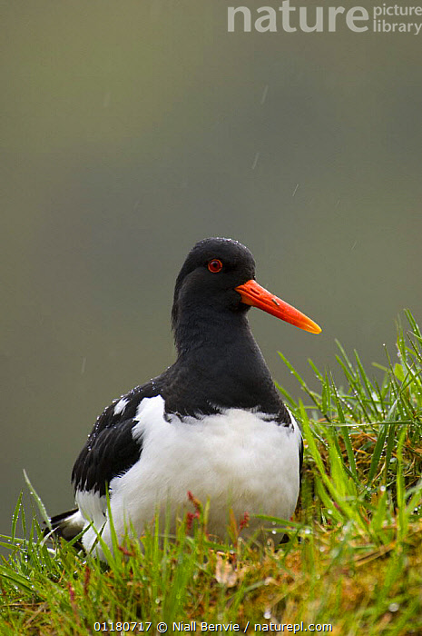Oystercatcher {Haematopus ostralegus} on the turf roof of an out-house, May, Norway, BIRDS,EUROPE,NORWAY,OYSTERCATCHERS,PORTRAITS,SCANDINAVIA,SPRING,URBAN,VERTEBRATES,VERTICAL,WADERS, Niall Benvie