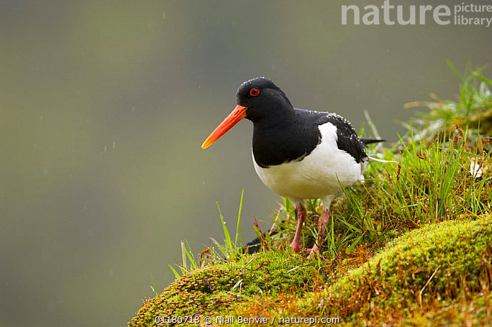 Oystercatcher {Haematopus ostralegus} on the turf roof of an out-house, May, Norway, BIRDS,EUROPE,NORWAY,OYSTERCATCHERS,SCANDINAVIA,SPRING,URBAN,VERTEBRATES,WADERS, Niall Benvie