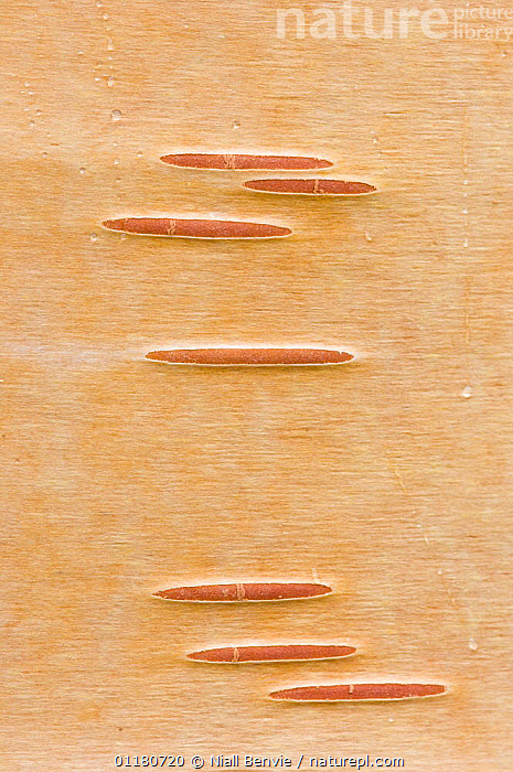 Detail of silver birch bark {Betula verrucosa}, May, Songli, S�r-Tr�ndelag, Norway, ABSTRACT,BARK,BETULACEAE,CLOSE UPS,CRYPTIC,DICOTYLEDONS,EUROPE,NORWAY,PLANTS,SCANDINAVIA,SPRING,TREES,VERTICAL, Niall Benvie