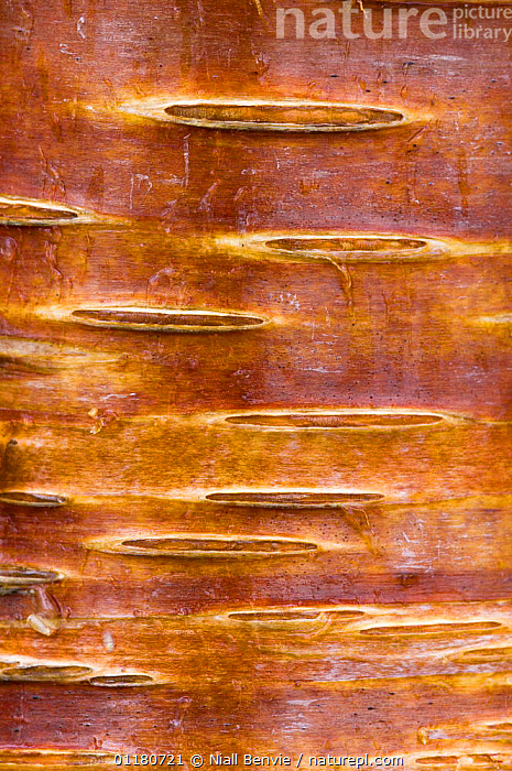 Detail of silver birch bark {Betula verrucosa}, May, Songli, S�r-Tr�ndelag, Norway, ABSTRACT,BARK,BETULACEAE,CLOSE UPS,CRYPTIC,DICOTYLEDONS,EUROPE,NORWAY,PLANTS,SCANDINAVIA,SPRING,TREES,VERTICAL, Scandinavia, Scandinavia, Scandinavia,Catalogue1, Niall Benvie