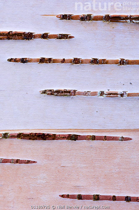 Detail of silver birch bark {Betula verrucosa}, May, Songli, S�r-Tr�ndelag, Norway  ,  ABSTRACT,BARK,BETULACEAE,CLOSE UPS,CRYPTIC,DICOTYLEDONS,EUROPE,NORWAY,PLANTS,SCANDINAVIA,SPRING,TREES,VERTICAL  ,  Niall Benvie