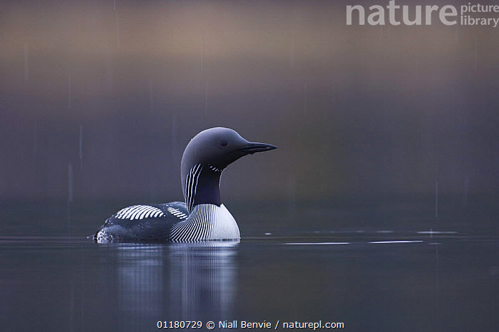 Black throated diver {Gavia arctica} swimming in the rain, May, Songli, S�r-Tr�ndelag, Norway, BIRDS,DIVERS,EUROPE,LOON,LOONS,NORWAY,SCANDINAVIA,SPRING,SWIMMING,VERTEBRATES,WATER,WATERFOWL, Niall Benvie