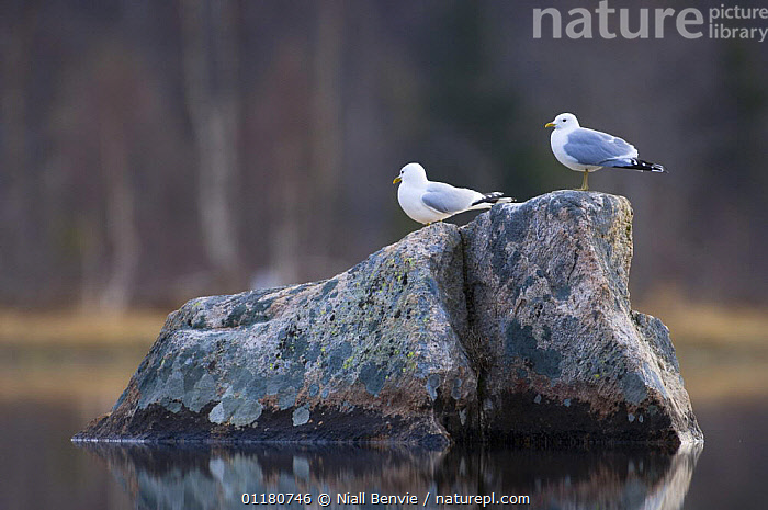 Two Common gulls {Larus canus} perched on rock in a lake, May, Tr�nelag, Norway, BIRDS,EUROPE,GULLS,NORWAY,ROCKS,SCANDINAVIA,SEABIRDS,SPRING,VERTEBRATES,WATER, Niall Benvie