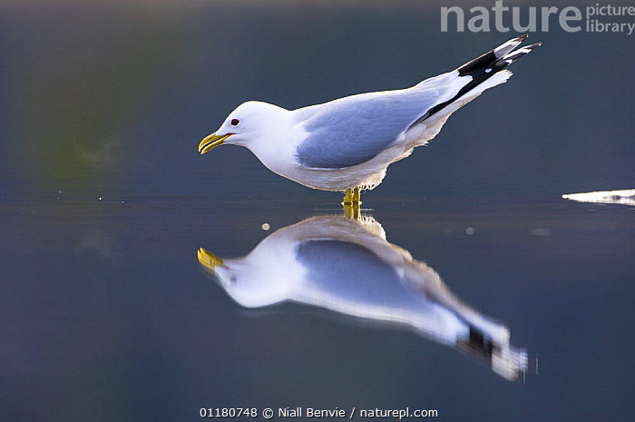 Common gull {Larus canus} about to drink, May, Tr�nelag, Norway, BIRDS,DRINKING,EUROPE,GULLS,NORWAY,REFLECTIONS,SCANDINAVIA,SEABIRDS,SPRING,VERTEBRATES,WATER, Niall Benvie