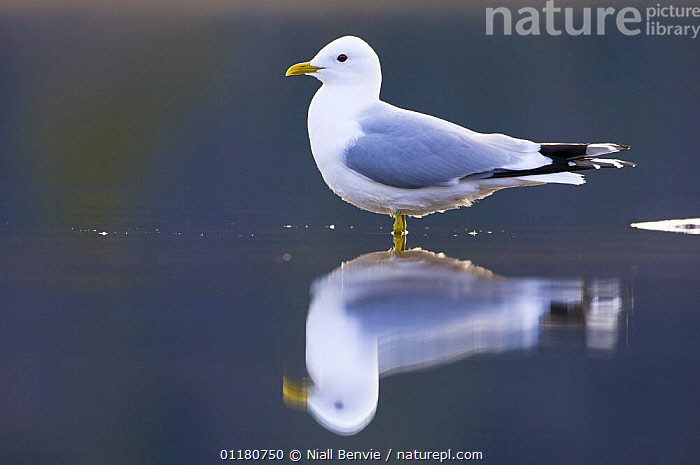 Common gull {Larus canus}, May, Tr�nelag, Norway, BIRDS,EUROPE,GULLS,NORWAY,REFLECTIONS,SCANDINAVIA,SEABIRDS,SPRING,VERTEBRATES,WATER, Niall Benvie