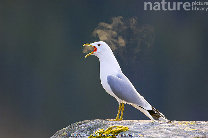 Common gull {Larus canus} vocalising, early morning, May, Tr�nelag, Norway, BEHAVIOUR,BIRDS,BREATH,EUROPE,GULLS,NORWAY,SCANDINAVIA,SEABIRDS,SPRING,VERTEBRATES,VOCALISATION, Niall Benvie
