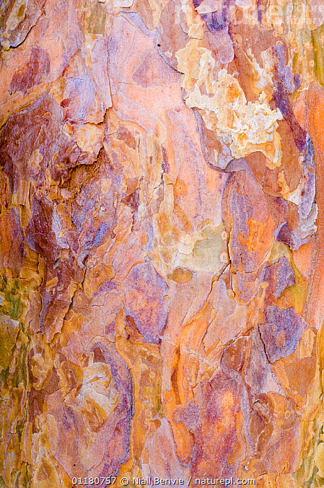 Close-up of Scots pine bark {Pinus sylvestris} on a felled tree, May, Oppland, Norway, ABSTRACT,ARTY,BARK,CLOSE UPS,COLOURFUL,CONIFERS,CRYPTIC,EUROPE,GYMNOSPERMS,NORWAY,PATTERNS,PINACEAE,PINES,PLANTS,SCANDINAVIA,VERTICAL, Niall Benvie