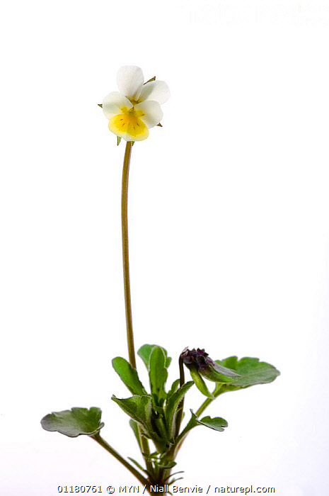 Dwarf pansy {Viola kitaibeliana}, May, Oppland, Norway meetyourneighbours.net project, CUTOUT,DICOTYLEDONS,EUROPE,FLOWERS,MYN,NORWAY,PLANTS,SCANDINAVIA,SPRING,VERTICAL,VIOLACEAE,white background , Meet Your Neighbours, MYN / Niall Benvie