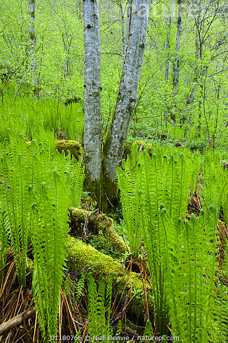 Ostrich plume fern {Matteuccia struthiopteris} in a  scree forest, May, Hordaland, Norway, ALDER,DRYOPTERIDACEAE,EUROPE,FERNS,MIXED SPECIES,NORWAY,PLANTS,PTERIDOPHYTES,SCANDINAVIA,SUMMER,VERTICAL,WOODLANDS, Niall Benvie