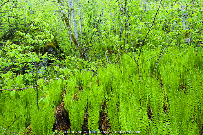 Ostrich plume fern {Matteuccia struthiopteris} in a scree forest, May, Hordaland, Norway, DRYOPTERIDACEAE,EUROPE,FERNS,NORWAY,PLANTS,PTERIDOPHYTES,SCANDINAVIA,SUMMER,TREES,WOODLANDS, Niall Benvie