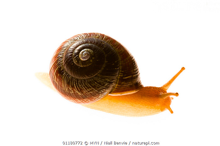 Grove / Brown lipped snail {Cepaea nemoralis}, May, Hordaland, Norway meetyourneighbours.net project, CUTOUT,EUROPE,GASTROPODS,INVERTEBRATES,MOLLUSCS,MYN,NORWAY,SCANDINAVIA,SNAILS,SPRING,white background , Meet Your Neighbours, MYN / Niall Benvie