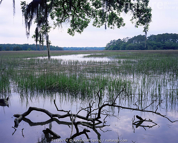 View of the estuary along Big Ferry Trail, Skidaway Island State Park, Georgia, USA, ESTUARIES,GRASSES,LANDSCAPES,NORTH AMERICA,NORTH AMERICA,RESERVE,RIVERS,TREES,USA,WATER,Plants, Kirkendall-Spring