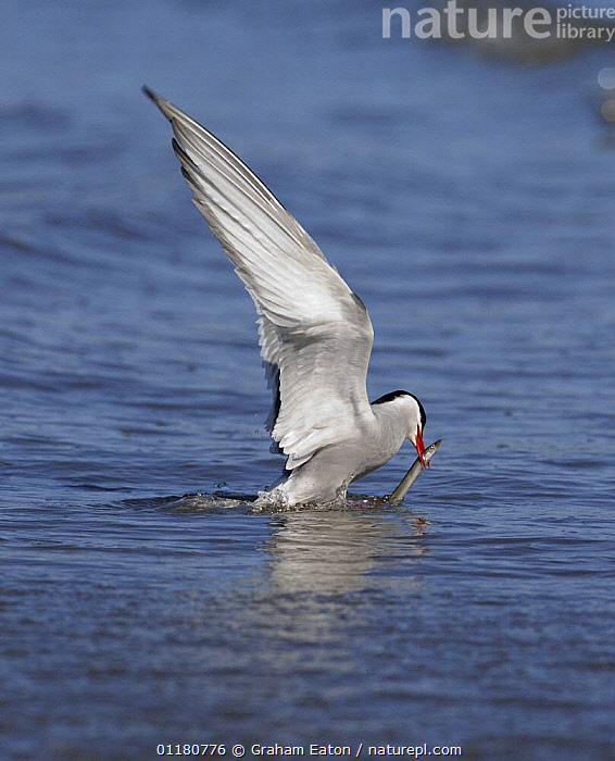 Arctic Tern (Sterna paradisaea) catching Sandeel fish prey, Wales, UK, 2006, BEHAVIOUR,BIRDS,EUROPE,FEEDING,FLYING,PREDATION,SEABIRDS,TERNS,UK,VERTEBRATES,VERTICAL,WALES,WINGS,United Kingdom,British, United Kingdom, Graham Eaton