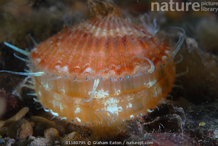 Juvenile Giant scallop (Pecten maximus) showing tentacles and eyes, Cardigan Bay, Wales, UK 2007, BIVALVES,EUROPE,INVERTEBRATES,MARINE,MOLLUSCS,SCALLOPS,TEMPERATE,UK,UNDERWATER,WALES,United Kingdom,British,Bivalve, Molluscs, Graham Eaton