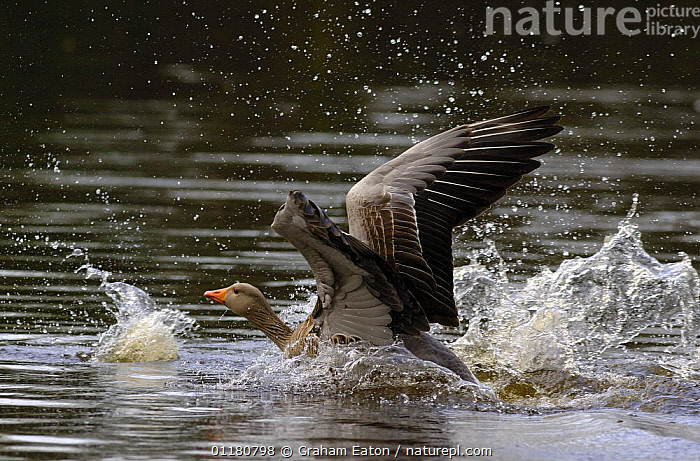 Male Graylag Goose {Anser anser} landing on water, UK 2006, BEHAVIOUR,BIRDS,EUROPE,GEESE,SPLASHING,UK,VERTEBRATES,WATERFOWL,United Kingdom,British,Wildfowl, waterfowl, Graham Eaton