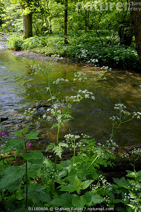 Woodland Stream with Fine-leaved water dropwort (Oenanthe aquatica) Clwyd, Wales, UK, May 2007, EUROPE,FLOWERS,LANDSCAPES,PLANTS,RIVERS,UK,VERTICAL,WALES,WOODLANDS,United Kingdom,British, Graham Eaton