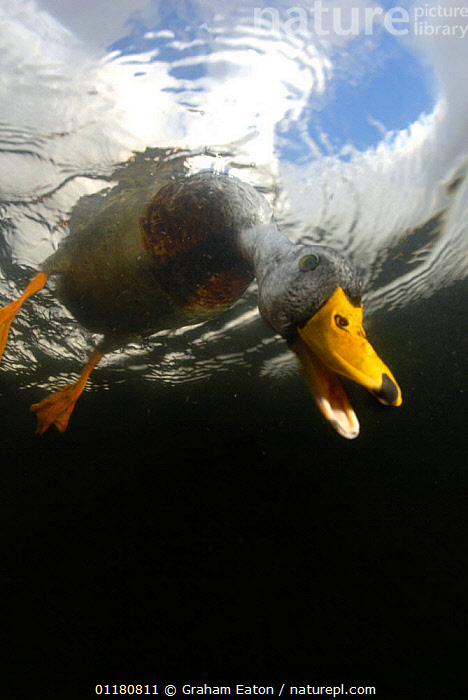 Male Mallard {Anas platyrhynchos} looking underwater for food, UK, 2006, BEHAVIOUR,BIRDS,DRAKE,DUCK,DUCKS,EUROPE,FEEDING,FRESHWATER,MALES,UK,UNDERWATER,VERTEBRATES,VERTICAL,WATERFOWL,United Kingdom,British, Graham Eaton