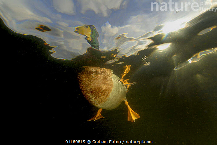 Male Mallard {Anas platyrhynchos} view from underwater, Wales, UK, 2006, BIRDS,DRAKE,DUCK,DUCKS,EUROPE,FEET,FRESHWATER,MALES,UK,UNDERWATER,VERTEBRATES,WATERFOWL,United Kingdom,British, Graham Eaton