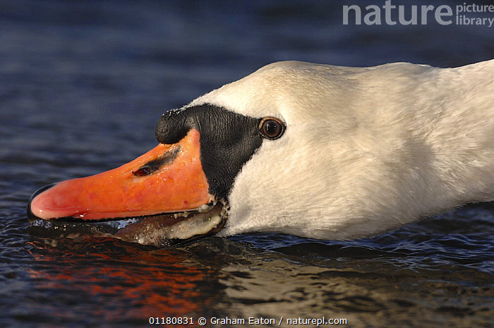 Mute Swan (Cygnus olor) drinking, UK 2005, BEAKS,BEHAVIOUR,BIRDS,EUROPE,SWANS,UK,VERTEBRATES,WATER,WATERFOWL,United Kingdom,British,Wildfowl, Waterfowl, Graham Eaton