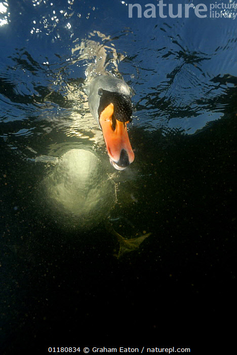 Mute Swan {Cygnus olor} looking for food underwater, UK, 2006, BEAKS,BEHAVIOUR,BIRDS,EUROPE,SWANS,UK,UNDERWATER,VERTEBRATES,VERTICAL,WATERFOWL,United Kingdom,British,Wildfowl, Waterfowl, Graham Eaton