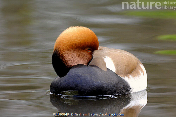 Red crested Pochard (Netta rufina) with head tucked under wing, UK, 2007. Captive bird., BIRDS,DUCK,DUCKS,EUROPE,RESTING,UK,VERTEBRATES,WATERFOWL,United Kingdom,British, Graham Eaton