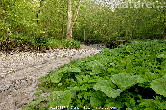 River Alyn dried up during the summer, Clwyd, Wales, UK, 2007. The River dissapears underground during dry summers, Mold, Clwyd, Wales, UK, May 2007  ,  DROUGHT,DRY,EUROPE,GUNNERA,LANDSCAPES,LIMESTONE,RIVERBED,RIVERS,UK,WALES,WOODLANDS,United Kingdom,British  ,  Graham Eaton