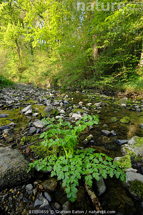 River Alyn during the summer. Flowing over limestone the River dissapears underground during dry summers, Clwyd, Wales, UK, DRY SEASON,EUROPE,LANDSCAPES,UK,VERTICAL,WALES,WOODLANDS,United Kingdom,British, Graham Eaton