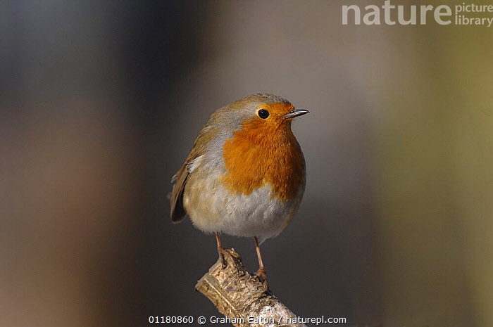 Robin (Erithacus rubecula) UK, 2006, BIRDS,EUROPE,FLYCATCHERS,UK,VERTEBRATES,United Kingdom,British, Graham Eaton
