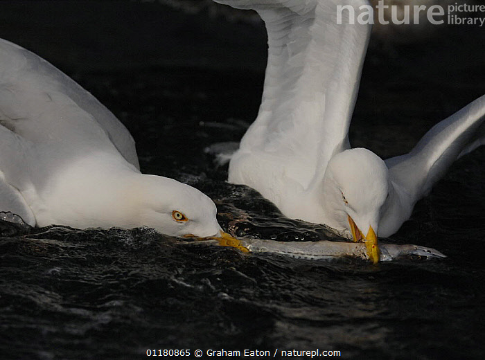 Two Herring Gulls (Larus argentatus) fighting over fish, Wales, UK, 2007, BEHAVIOUR,BIRDS,EUROPE,FEEDING,GULL,GULLS,SEABIRDS,SEAGULL,UK,VERTEBRATES,WALES,United Kingdom,British, Graham Eaton