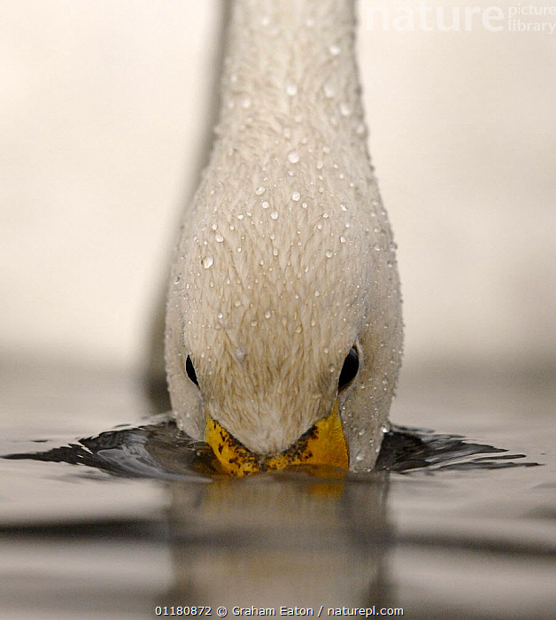 Close up of Whooper Swan (Cygnus cygnus) feeding underwater, UK, BEAKS,BEHAVIOUR,BIRDS,CLOSE UPS,DRINKING,EUROPE,SWANS,UK,VERTEBRATES,VERTICAL,WATERFOWL,United Kingdom,British,Wildfowl, Waterfowl, Graham Eaton