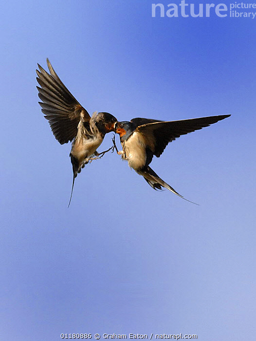 Female Barn swallow (Hirundo rustica) passing food to a sibling in flight, UK, BEHAVIOUR,BIRDS,EUROPE,FEEDING,SWALLOWS,TWO,UK,VERTEBRATES,VERTICAL,United Kingdom,British, Graham Eaton