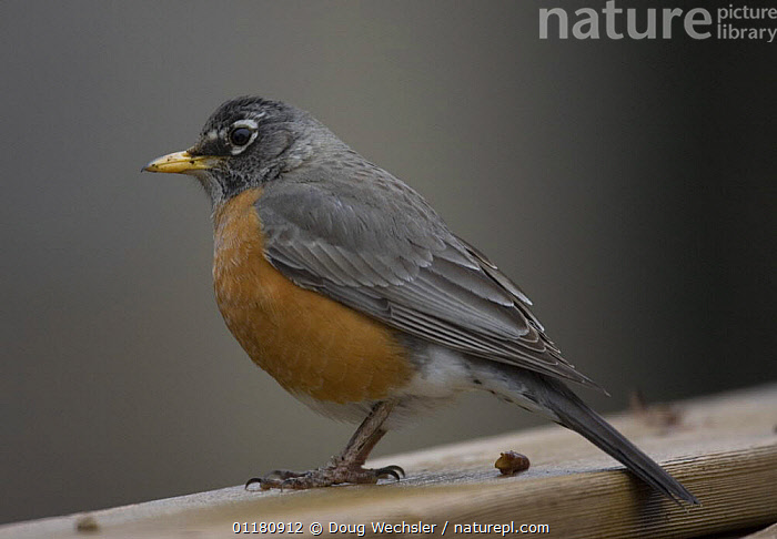 American Robin {Turdus migratorius} perched on fence, USA, BIRDS,NORTH AMERICA,PORTRAITS,PROFILE,THRUSHES,USA,VERTEBRATES, Doug Wechsler