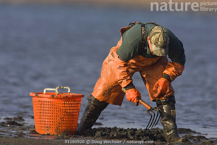 Fisherman collecting Clams on mud flat in estuary, Stone Harbor, Nummy Island, New Jersey, USA, CLAMS,COASTS,food,HARVESTING,MOLLUSCS,NORTH AMERICA,PEOPLE,seafood,USA,WATER,Invertebrates, Doug Wechsler