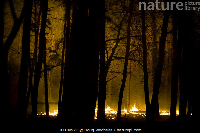 Controlled burn in Pitch Pine Forest, Pine Barrens, New Jersey, USA, burning,CONSERVATION,FIRE,flames,FORESTRY,management,NIGHT,NORTH AMERICA,PINES,TREES,USA,Plants, Doug Wechsler
