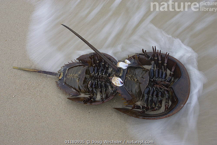Underside of mating pair of Horseshoe Crabs {Limulus polyphemus} spawning in sand on beach, Delaware Bay, New Jersey, USA, ARTHROPODS,crab,HORSESHOE CRABS,INVERTEBRATES,male female pair,MARINE,mating behaviour,NORTH AMERICA,sand,USA,WATER,WAVES,Reproduction, Doug Wechsler