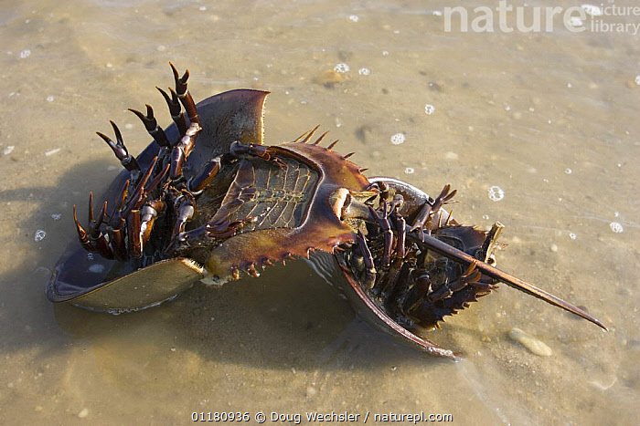 Underside of mating pair of Horseshoe Crabs {Limulus polyphemus} trying to turn over, female is larger of the two, Delaware Bay, New Jersey, USA  ,  ARTHROPODS,BEHAVIOUR,crab,HORSESHOE CRABS,INVERTEBRATES,male female pair,MARINE,mating behaviour,NORTH AMERICA,sand,USA,Reproduction  ,  Doug Wechsler