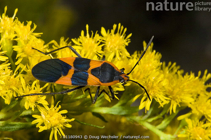 Large Milkweed Bug {Oncopeltus fasciatus} on Goldenrod flowers, Pennsylvania, USA, BUGS, FLOWERS, HEMIPTERA, INSECTS, INVERTEBRATES, NORTH-AMERICA, SEED-BUGS, USA,North America, Doug Wechsler