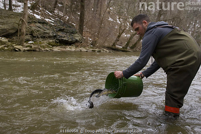 Releasing Trout into river to stock for fishing, Wissahickon Creek, Philadelphia, Pennsylvania, USA  ,  FISH,management,NORTH AMERICA,PEOPLE,PRIMATES,RIVERS,TROUT,USA,VERTEBRATES,Mammals  ,  Doug Wechsler