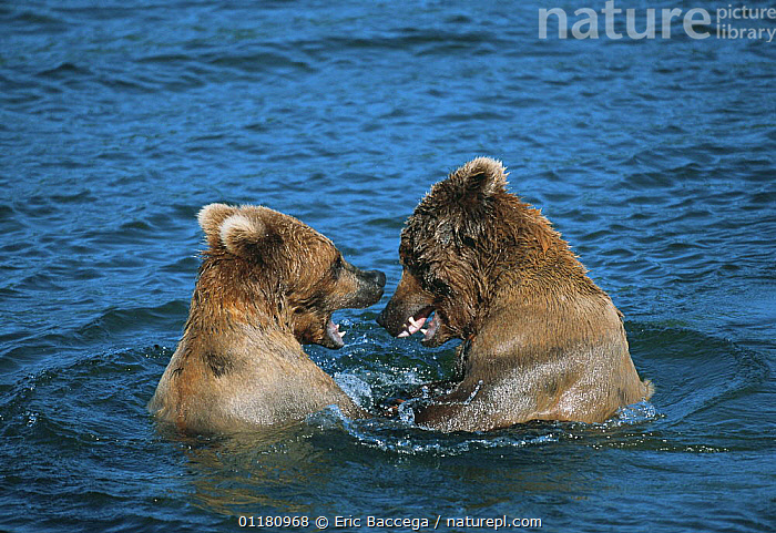 Brown grizzly bear {Ursus arctos horribilis} two juveniles play fighting in Brooks river, Katmai National Park, Alaska, USA, BEARS,brown bear,CARNIVORES,FIGHTING,JUVENILE,MAMMALS,mouthing,play,USA,VERTEBRATES,WATER,North America,Aggression,Communication,Concepts, Eric Baccega