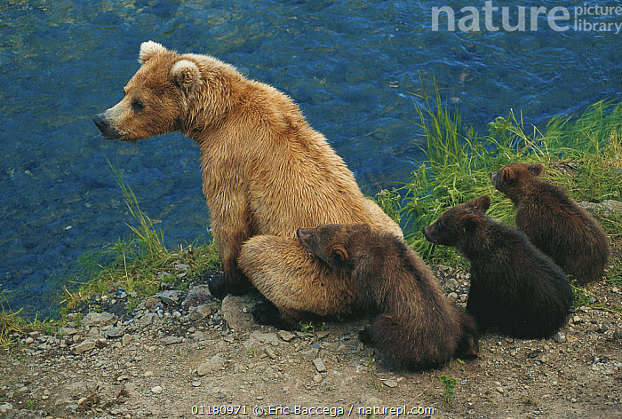 Brown grizzly bear {Ursus arctos horribilis} mother sitting on river bank with three 6 month cubs, Brooks river, Katmai National Park, Alaska, USA  ,  BABIES,BEARS,brown bear,CARNIVORES,FAMILIES,JUVENILE,MAMMALS,RIVERS,USA,VERTEBRATES,North America  ,  Eric Baccega