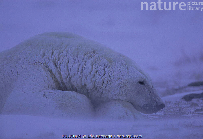 Polar bear {Ursus maritimus} resting in blizzard, Churchill, Manitoba, Canada  ,  bad weather,BEARS,CANADA,CARNIVORES,COLD,MAMMALS,SNOW,VERTEBRATES,WIND,North America,Weather  ,  Eric Baccega