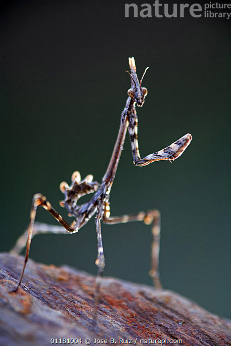 Praying mantis {Empusa pennata} Sauceda, Caminomorisco, Las Hurdes, Caceres, Extremadura, Spain  ,  ARTHROPODS,EUROPE,INSECTS,INVERTEBRATES,MANTIDS,Mantodea,PORTRAITS,SPAIN,VERTICAL,Catalogue1  ,  Jose B. Ruiz