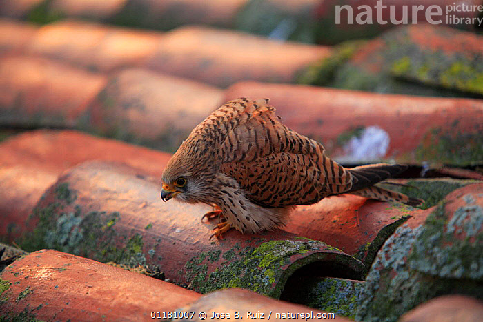 Lesser kestrel {Falco naumanni} female perching on rooftop, Quintana de la Serena, Badajoz, Extremadura, Spain  ,  BIRDS,BIRDS OF PREY,BUILDINGS,EUROPE,FALCONS,SPAIN,URBAN,VERTEBRATES  ,  Jose B. Ruiz
