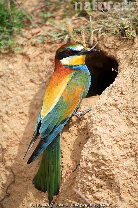European bee eater {Merops apiaster} perching by nest hole, Los Barruecos NP, Malpartida de Caceres, Extremadura, Spain, April  ,  BEE EATERS,BIRDS,EUROPE,SPAIN,VERTEBRATES,VERTICAL  ,  Jose B. Ruiz