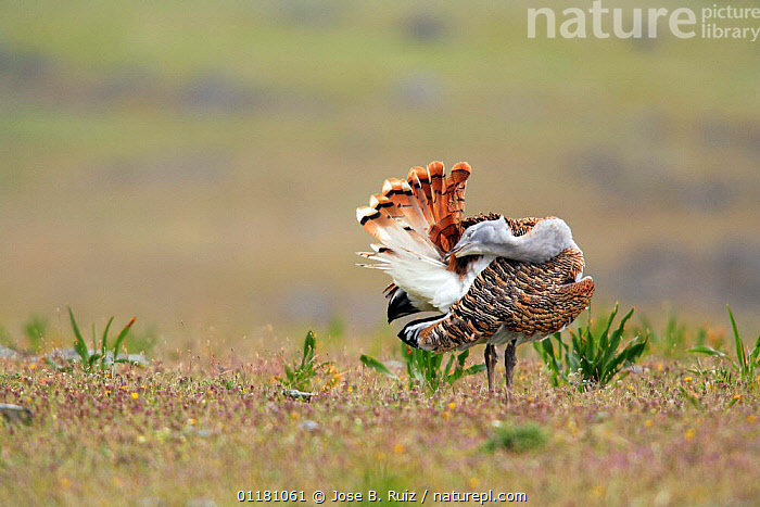 Great bustard {Otis tarda} male preening feathers, Castuera, La Serena, Badajoz, Extremadura, Spain