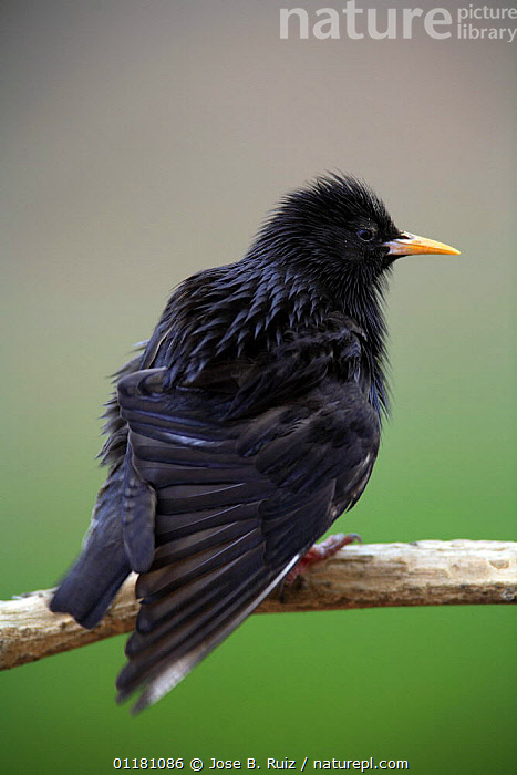 Spotless starling {Sturnus unicolor} ruffling feathers, Quintana de la Serana, Badajoz, Extremadura, Spain